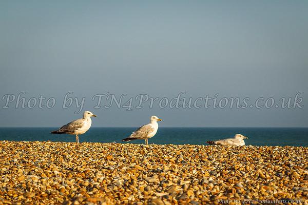 Seagulls of the Beach