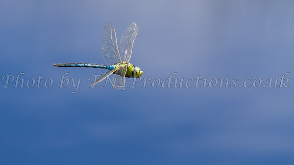 Male Emperor Dragonfly, In Flight