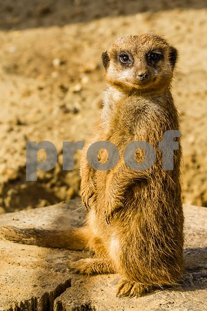 Meerkat Looking at You