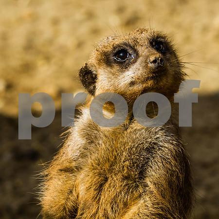 Meerkat Watcher