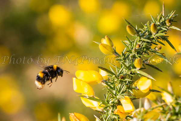 Bee and Gorse 3