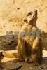 Meerkat Gazing Up