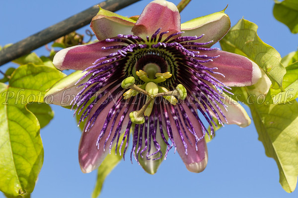 Passion Flower In The Sun