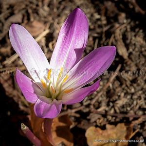 Purple Colchicum