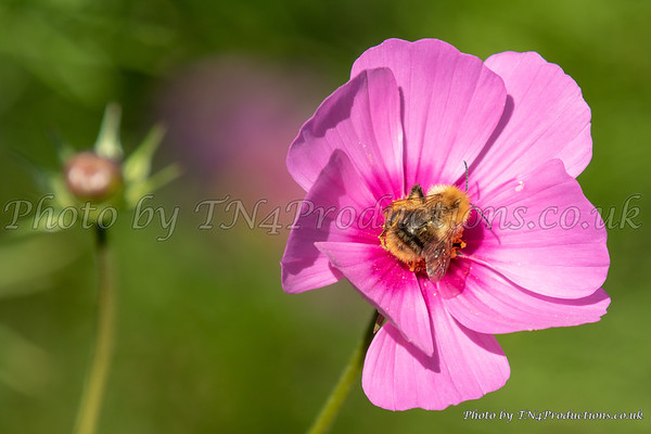 Bee on Pink Lavatera
