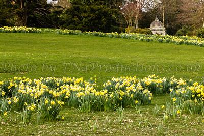 Daffodils in Dunorlan