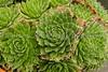 Succulent rosettes