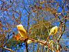 first Magnolia Stellata bloom