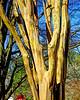 crape myrtle bark