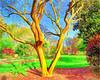 Bicentennial Garden Myrtle