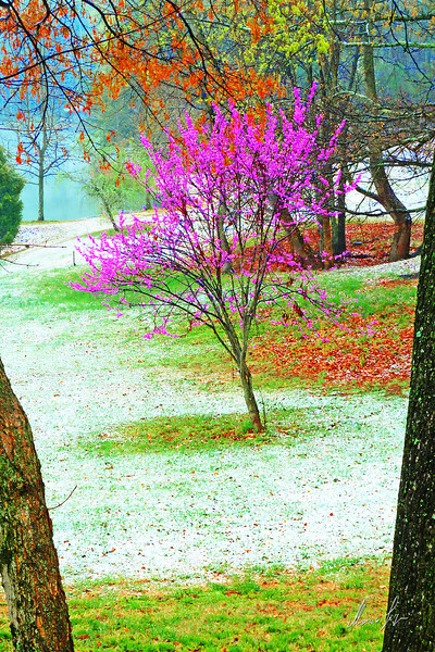 Late snow on redbud