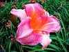 Bicentennial Garden lily