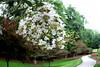 Bicentennial Garden Robinia