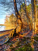 Crooked tree at lake Brandt cove