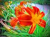 daylily (fisheye effect + macro)