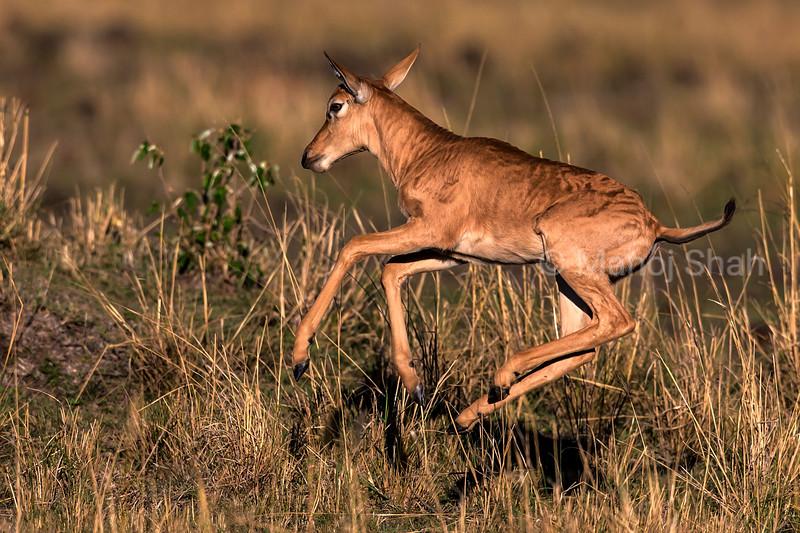 Topi calf running