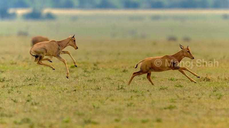 Topi calves strotting in Masai Mara savanna early morning.