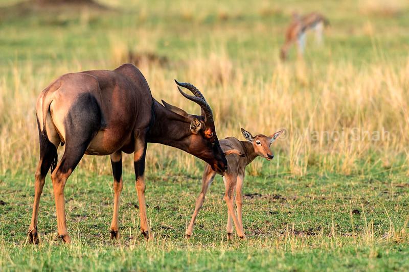 Topi grooming baby