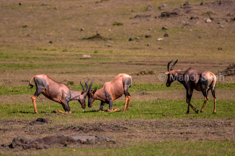 Topi males play fighting in Masai Mara.