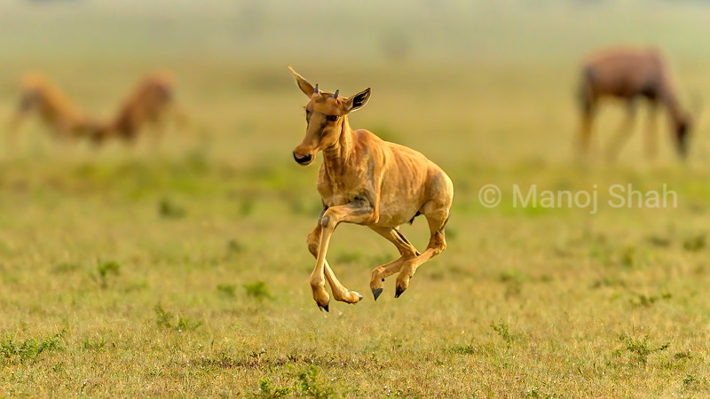 Topi calf displays tremedous energy ealy morning in Masai Mara