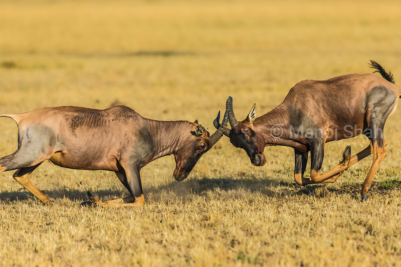 It is the mating season for Topis as two males start rutting.