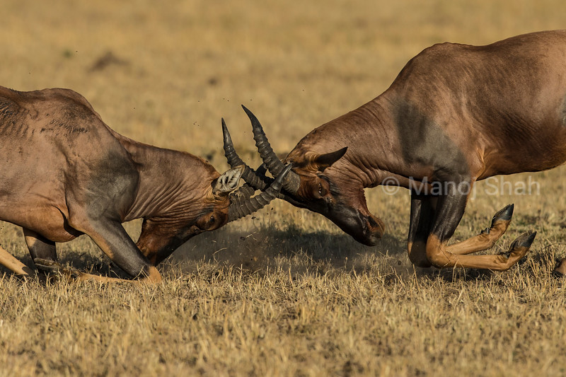 male topis fighting