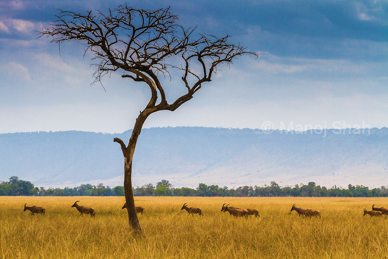 Line of Topis on the Paradise plains migrating to Mara River.