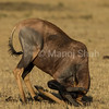 Male topi rubbing its head on ground