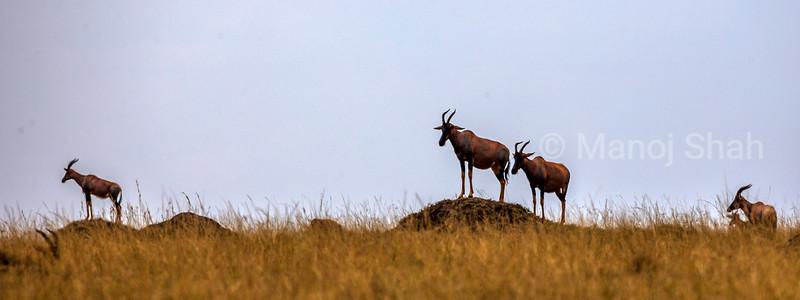 Topi in Masai Mara