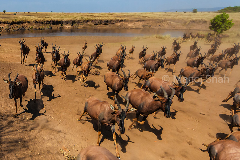 Topis migrate with wildebeest as seen here.