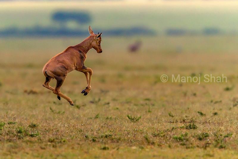 Topi calf strotting in Masai Mara savanna early morning.