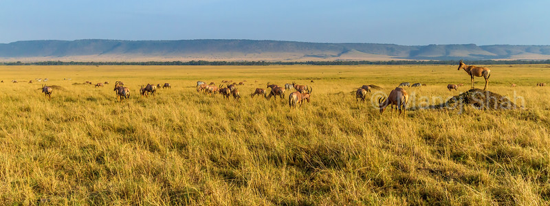 Topi herd and zebras grazing in the Masai Mara savanna,