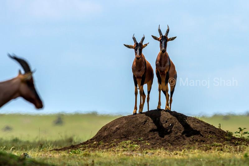 Topi om lookout for predators in Masai Mara savanna.