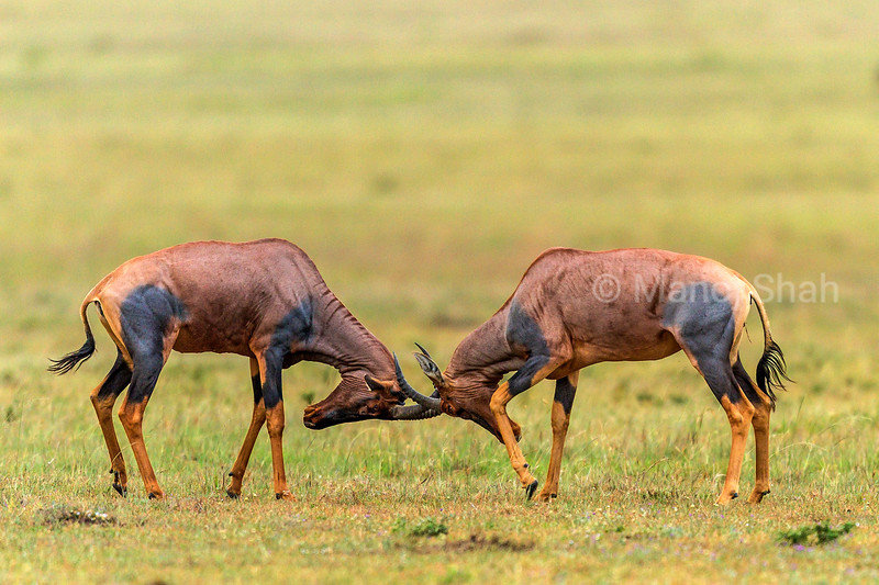 Topi males head butting in Masai Mara
