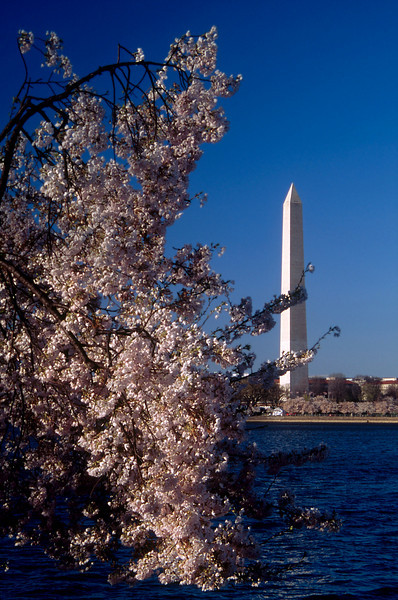 TIDAL BASIN CHERRY BLOSSOMS IN WASHINGTON D.C.