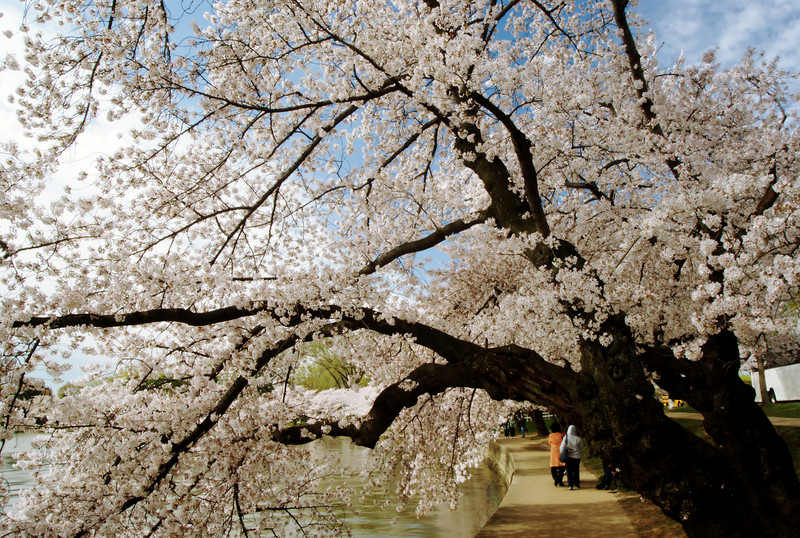 "CHERRY, BLOSSOMS,JAPANESE, ""TIDAL BASIN"", WASHINGTON D.C., SPRING, ""CHERRY BLOSSOMS"""