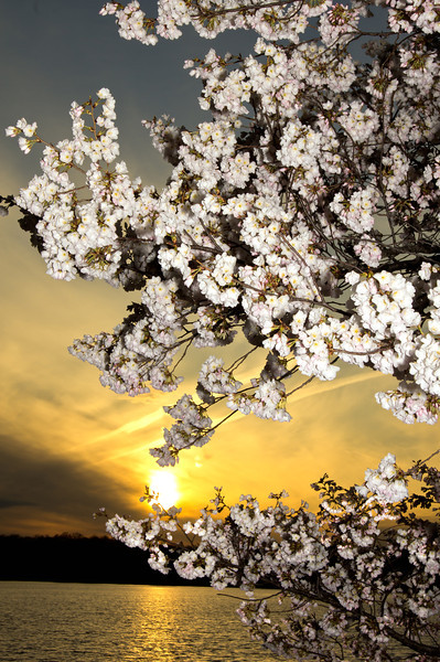 SUN SET CHERRY BLOSSOMS<br /> IMAGE 924