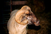 HOG ISLAND SHEEP OF THE NATIONAL COLONIAL FARM