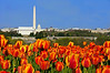 NATIONAL MALL WITH TULIPS (HORIZONTAL)