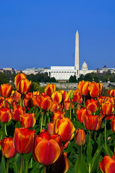 NATIONAL MALL AND TULIPS (VERTICLE)