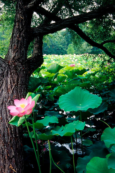 AN ISOLATED LOTUS BLOSSOM AT THE KENILWORTH AQUATIC GARDENS IN WASHINGTON D.C.