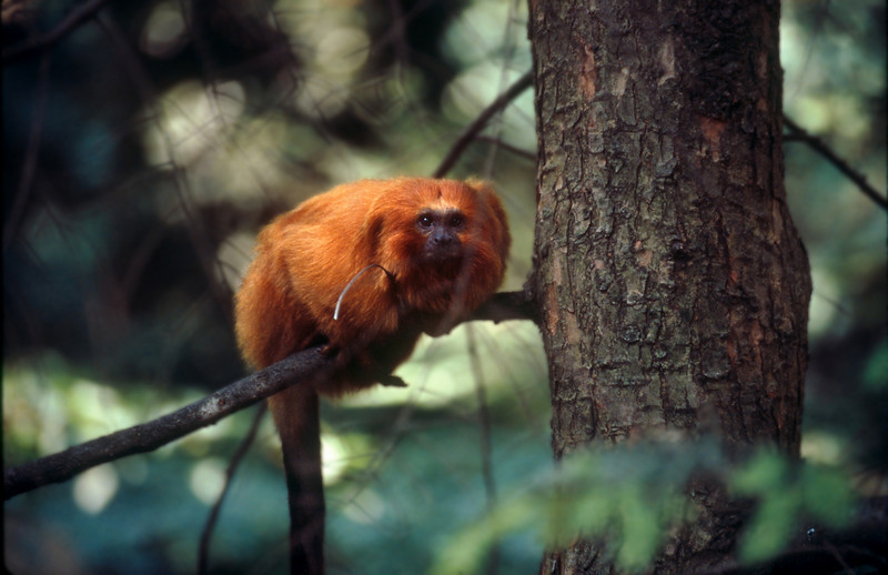 GOLDEN LION TAMARIN AT THE NATIONAL ZOO IN WASHINGTON D.C.