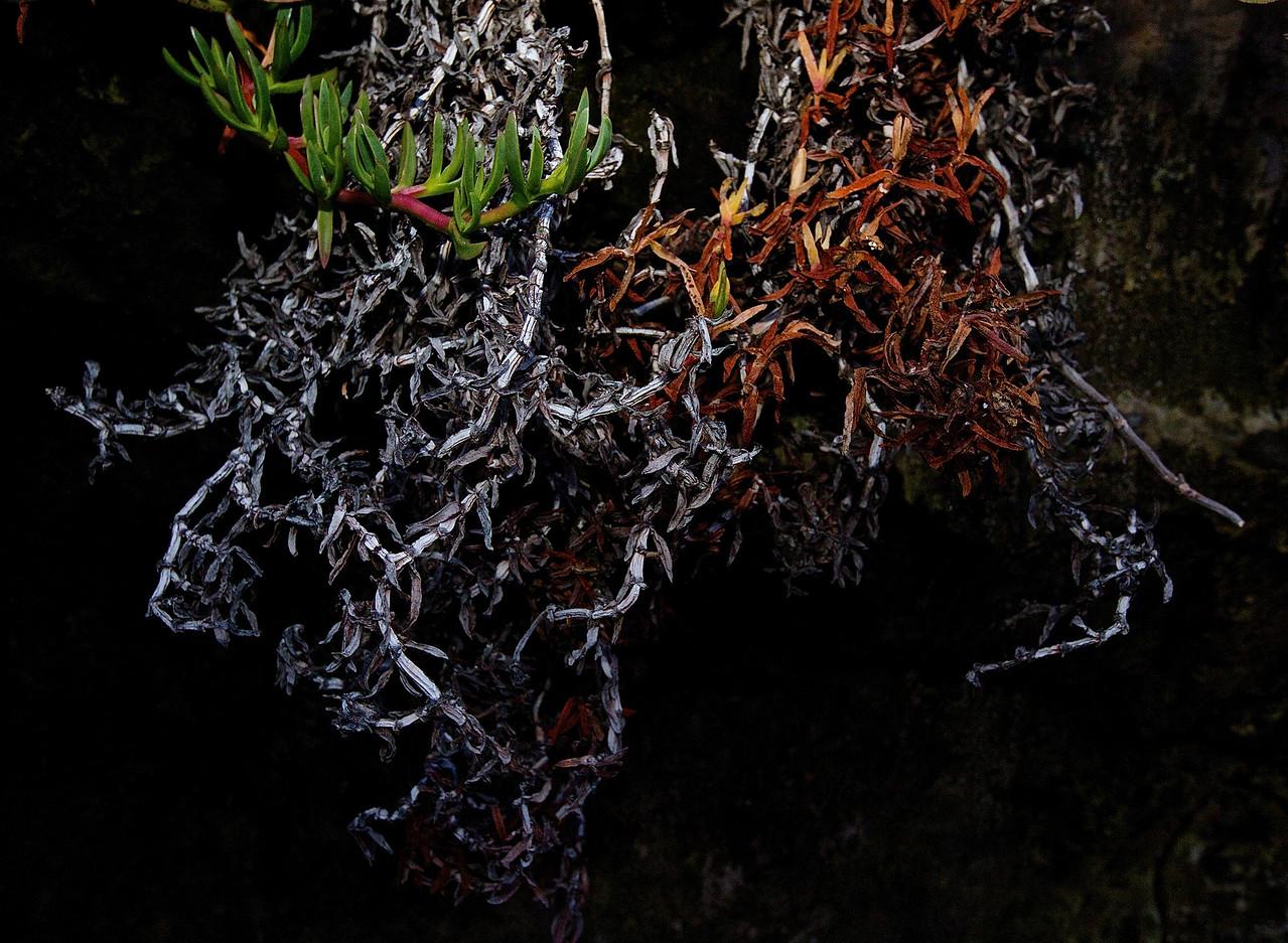 Ice Plant Study.  Santa Cruz, California