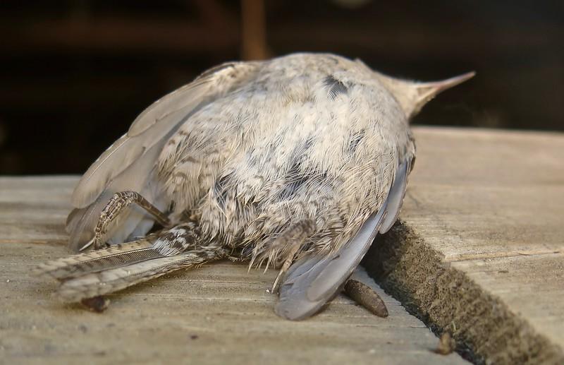 Sparrow. Springer, New Mexico