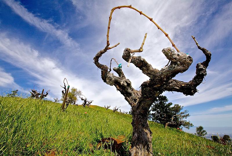 Dancing Vine #2.  Ridge Winery.  Monte Bello.