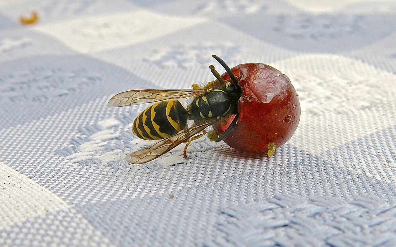 Wasp and Grape. Shaw Island, Washington.