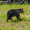 Black Bear along the Alaska Hwy near Fort Nelson.
