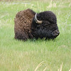 Bison in Custer State Park - SD