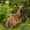 Elk along Alaska Hwy west of Whitehorse, YK -male