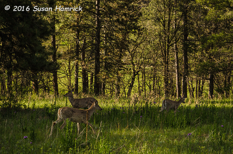White-tail deer in Custer State Park, ND